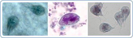 giardia trophozoite